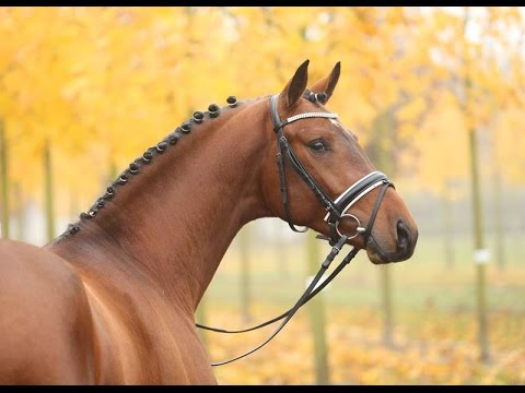 Amazing Horse - Hanoverian Horse