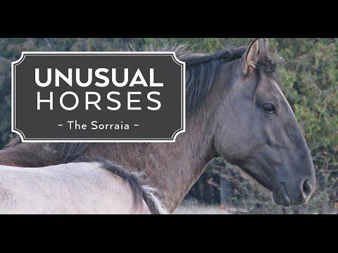 Unusual Horses: The Sorraia