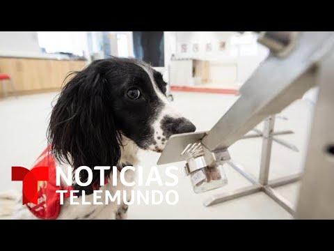 ONG en Inglaterra entrena perros para detectar el COVID-19 | Noticias Telemundo