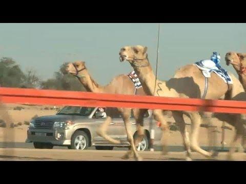 Animales por el mundo: carreras de camellos en Dubai