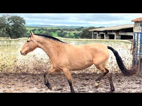 Yegua y su cría bajan de Van.horse mating caballos y yeguas first time