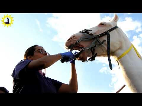 Horse Dentist Akruti Choksi sarangkheda Horse fair show