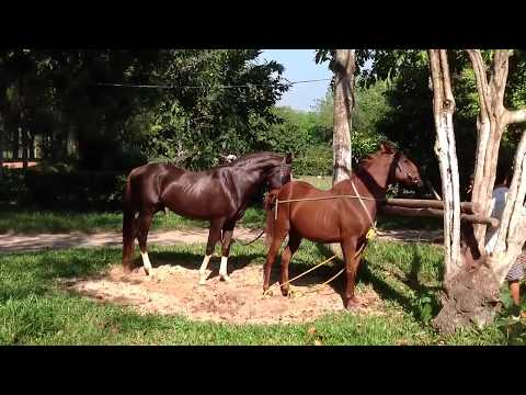 Most best breeding horse Big male horse vs Nice mare