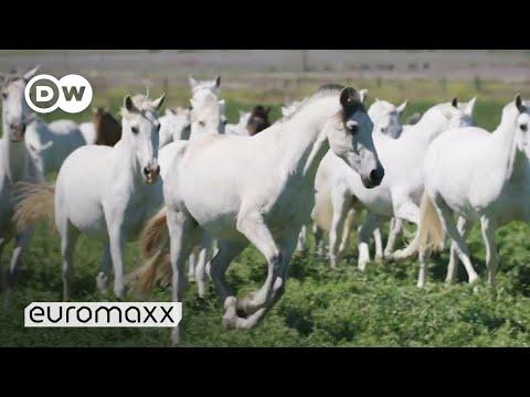 Andalusian Horses: These Carthusian Horses are Europe's oldest breeds   Pura Raza Española