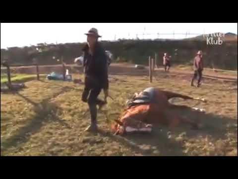 Jingang,el caballo que se hace el muerto